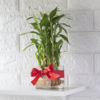 2 Layer Lucky Bamboo Plant in a Bowl