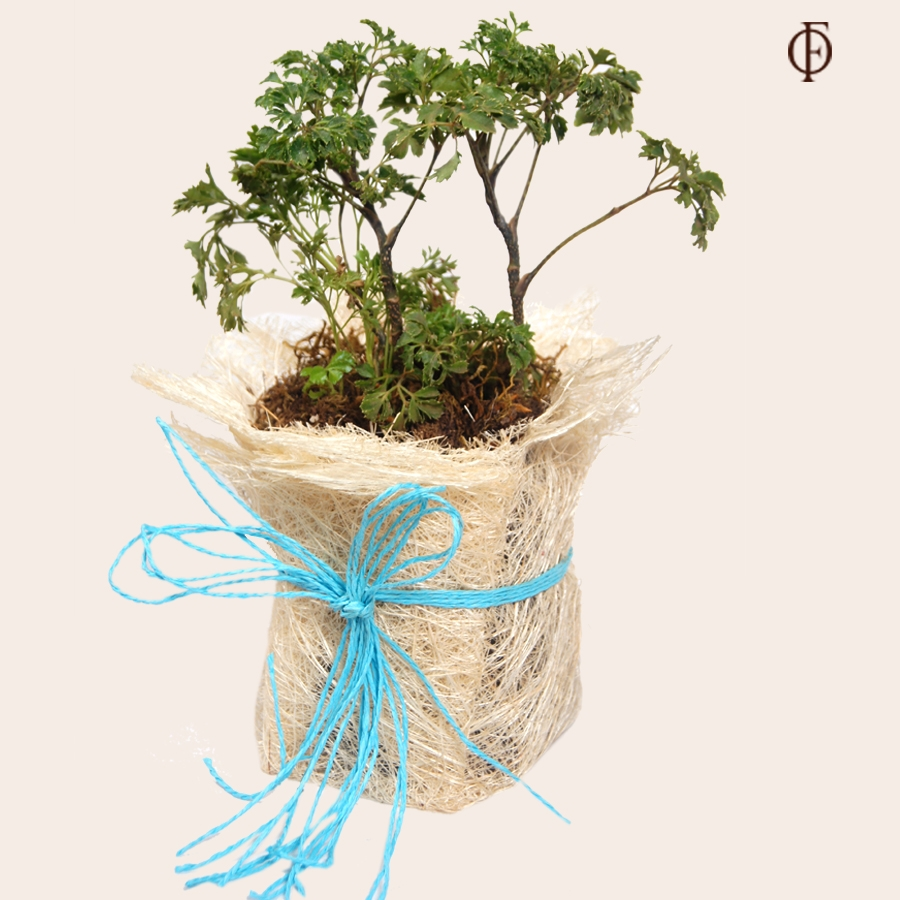 Aralia Green Plant with a pot